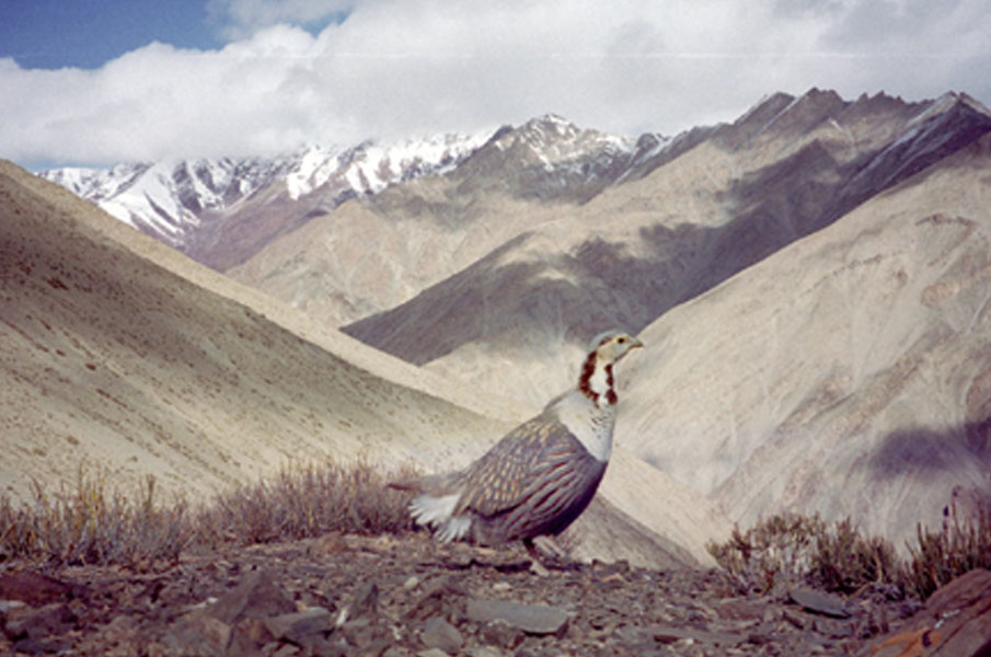 LADAKH WILDLIFE