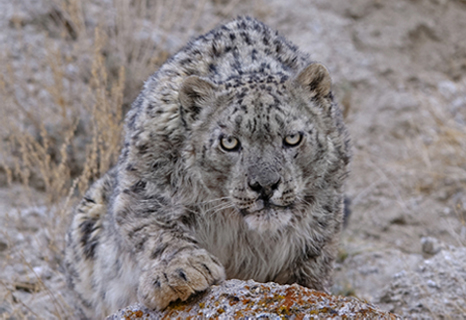 Snow Leopard Conservancy